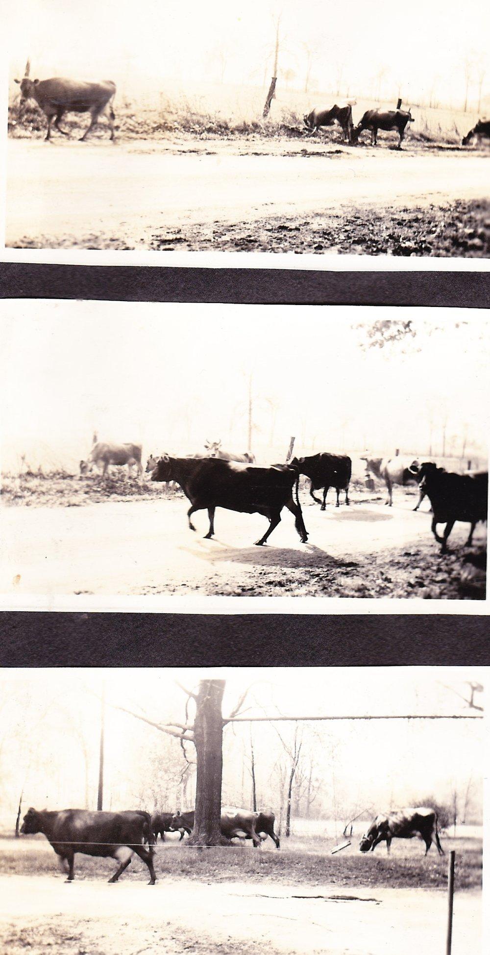 cows 66.jpg