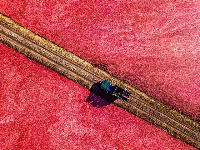 Cranberries cram commercial bogs, where the surfaced fruit waits to be harvested onto awaiting trucks. @picranberry