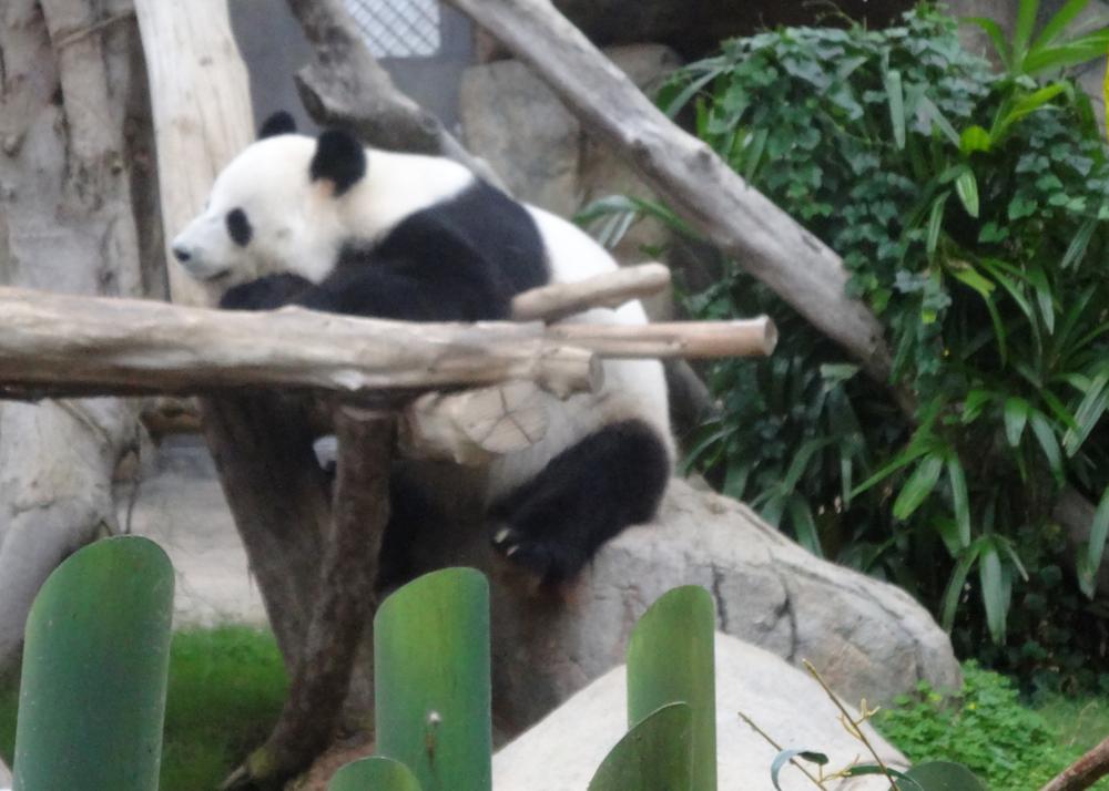 Panda Bear in Hong Kong