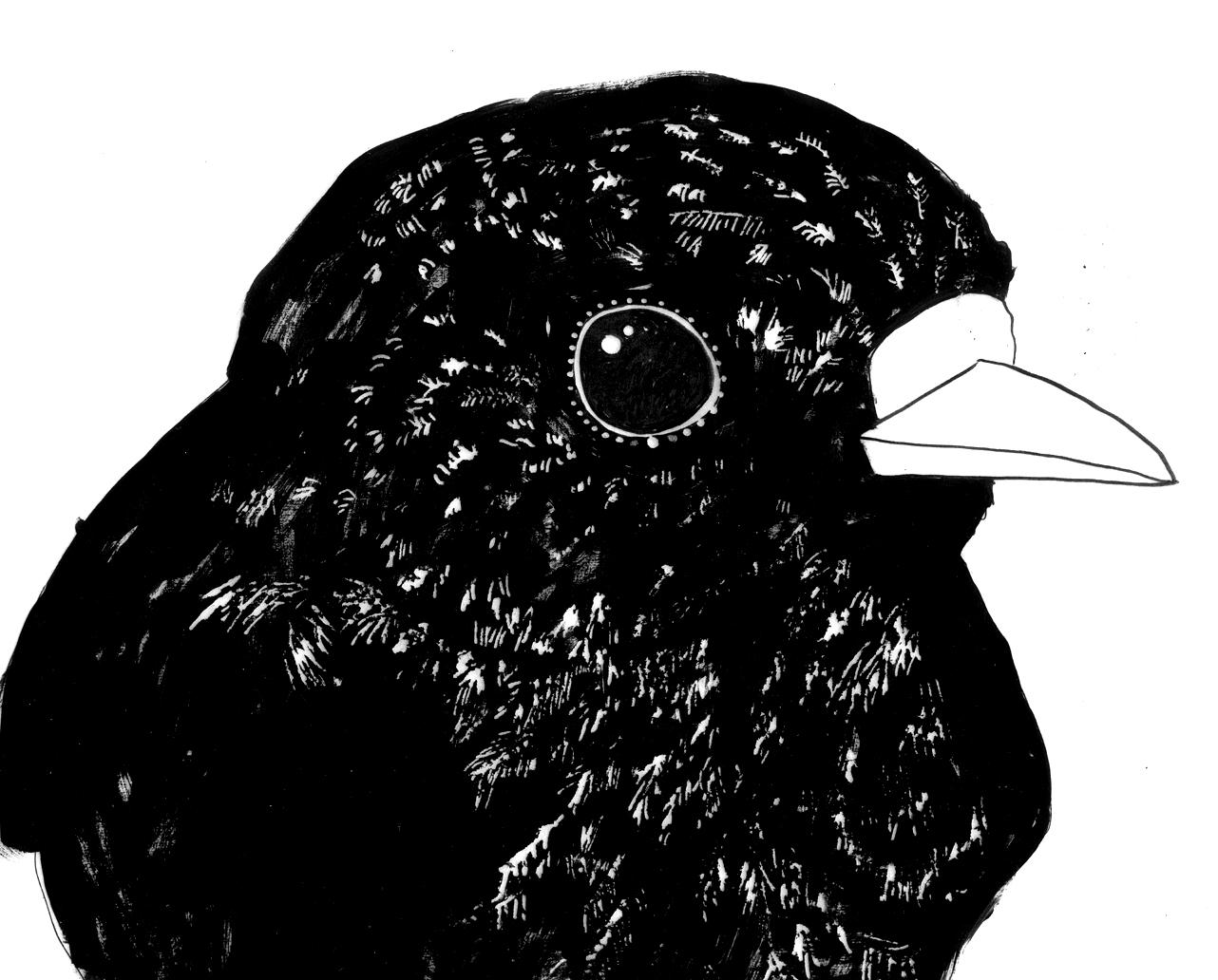 robin drawing