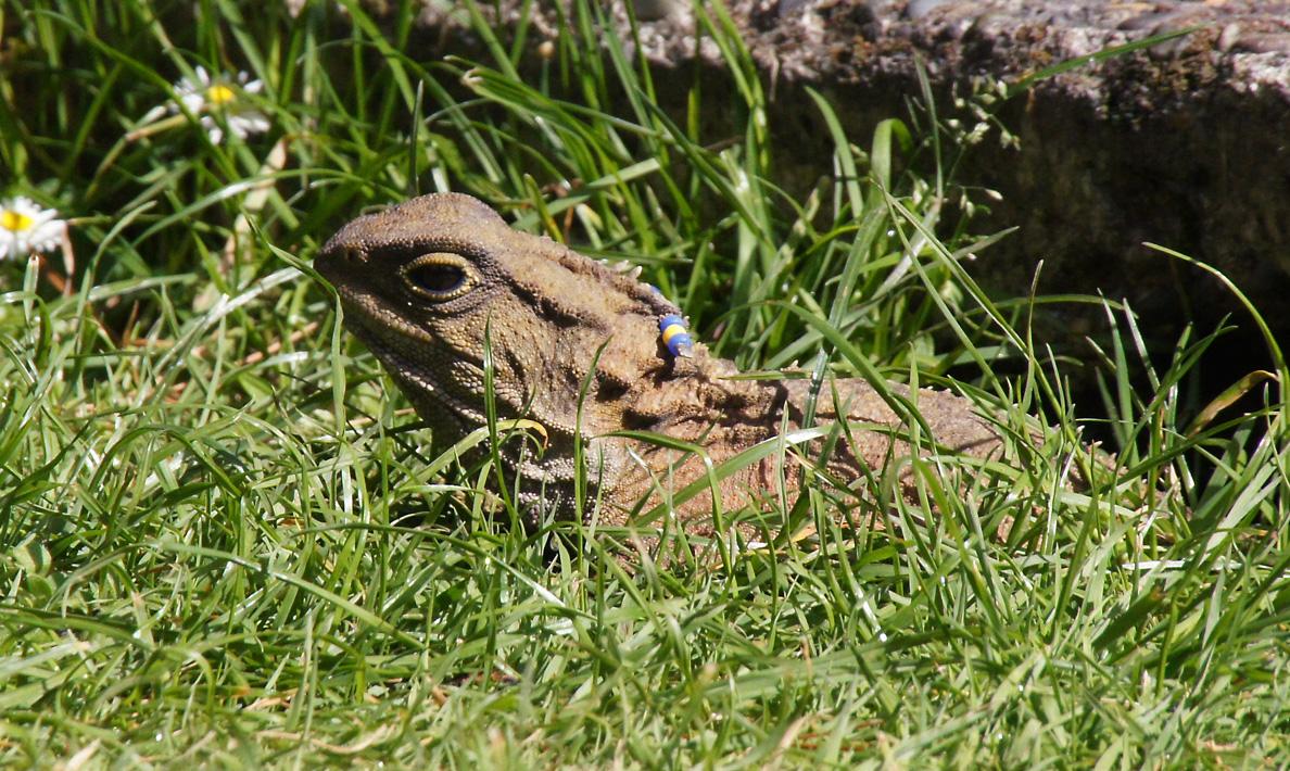 Tuatara At Zealandia