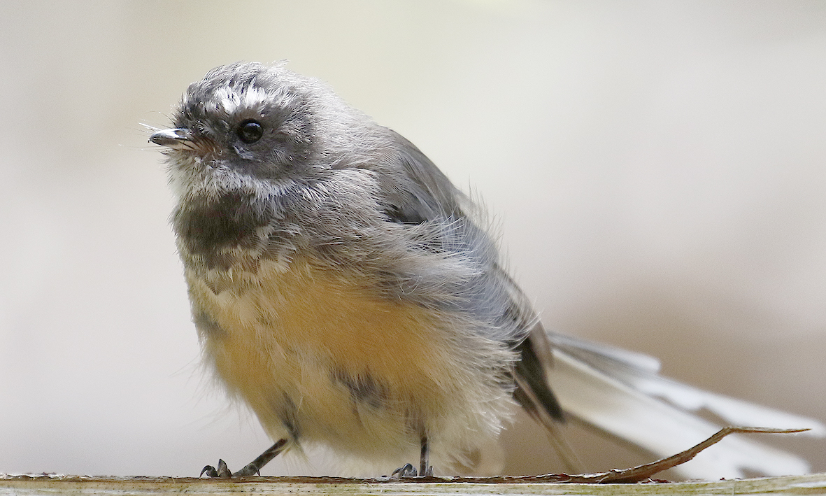fantail 1