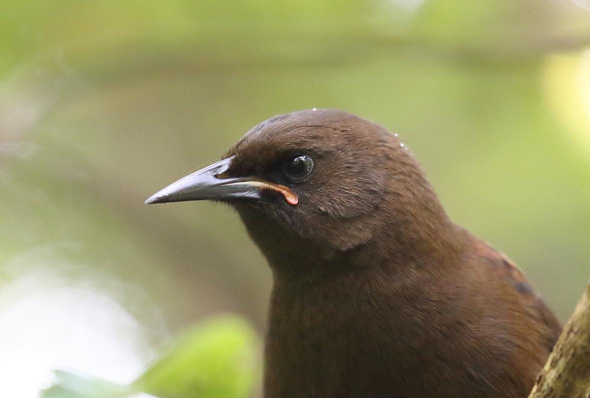 3 jackbird closeup 3