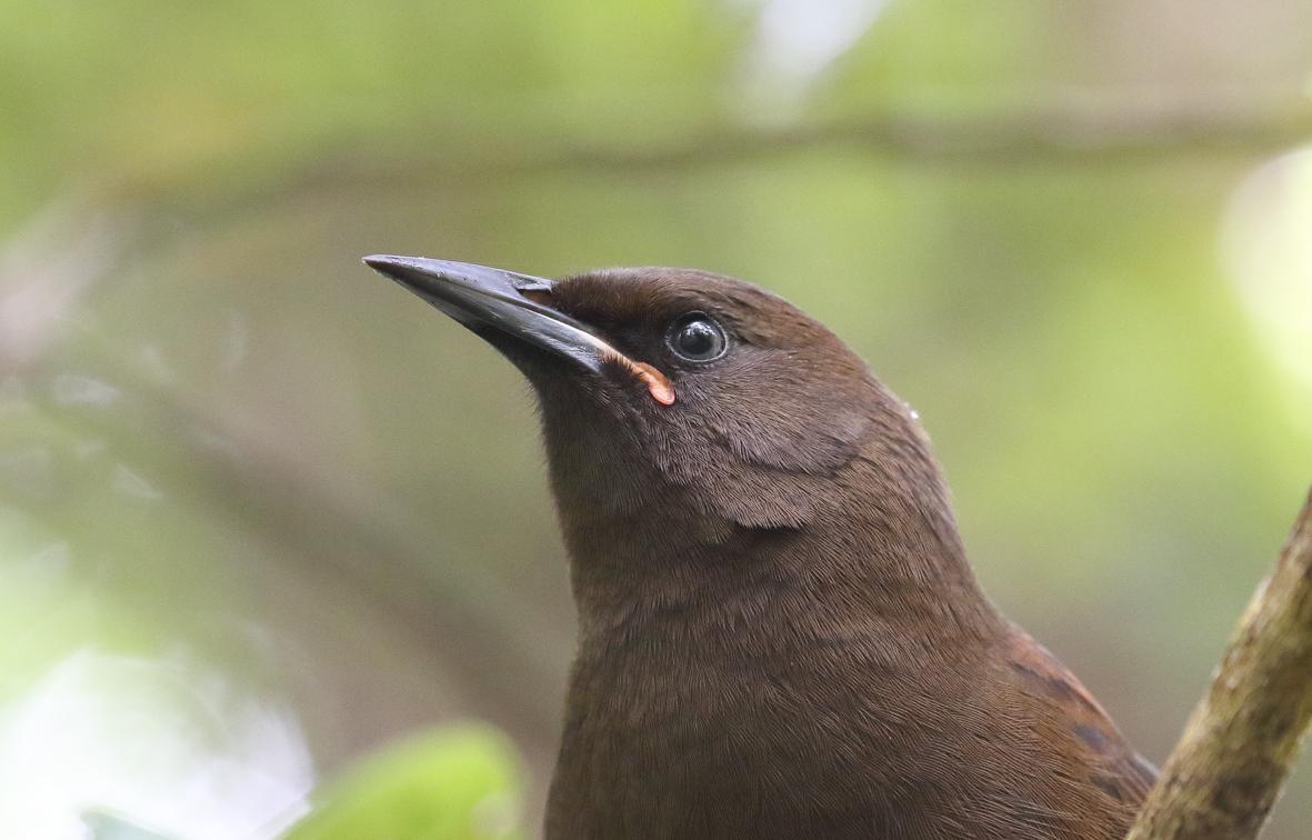 4 jackbird closeup