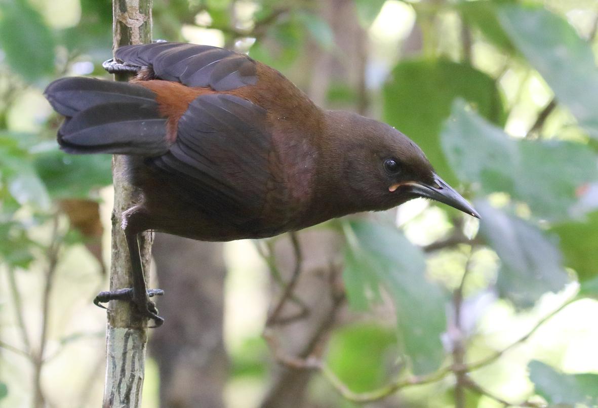 5 jackbird closeup