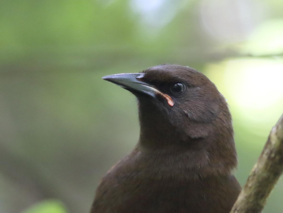 6 jackbird closeup