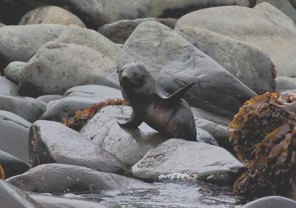 seal waving