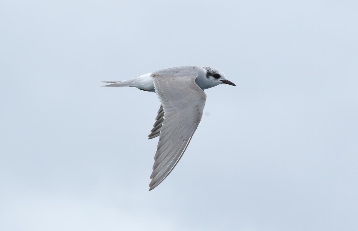 flying tern 2