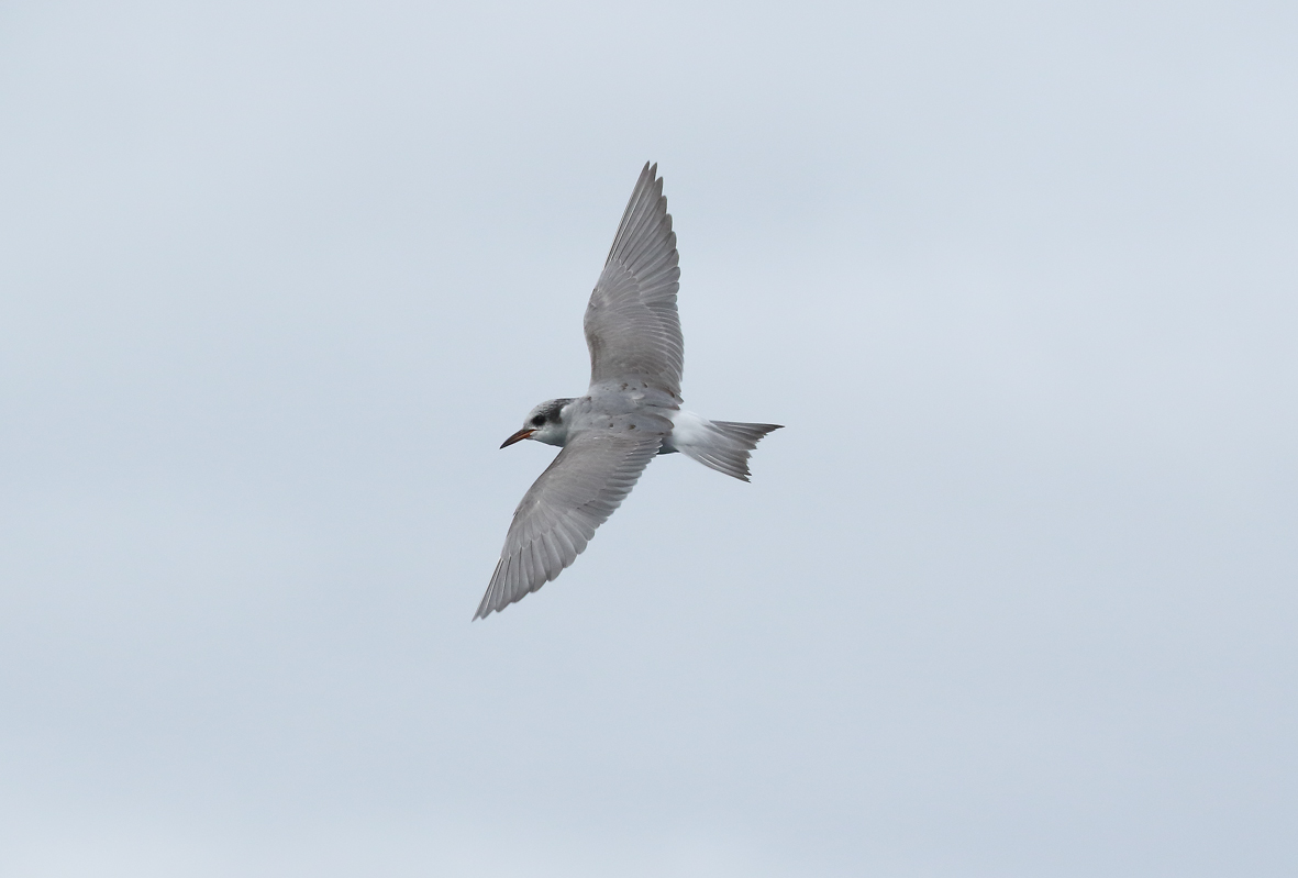 flying tern 3