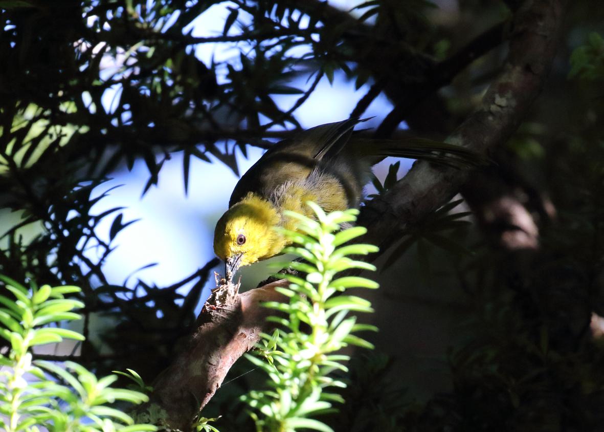 yellowhead eating wasp 2