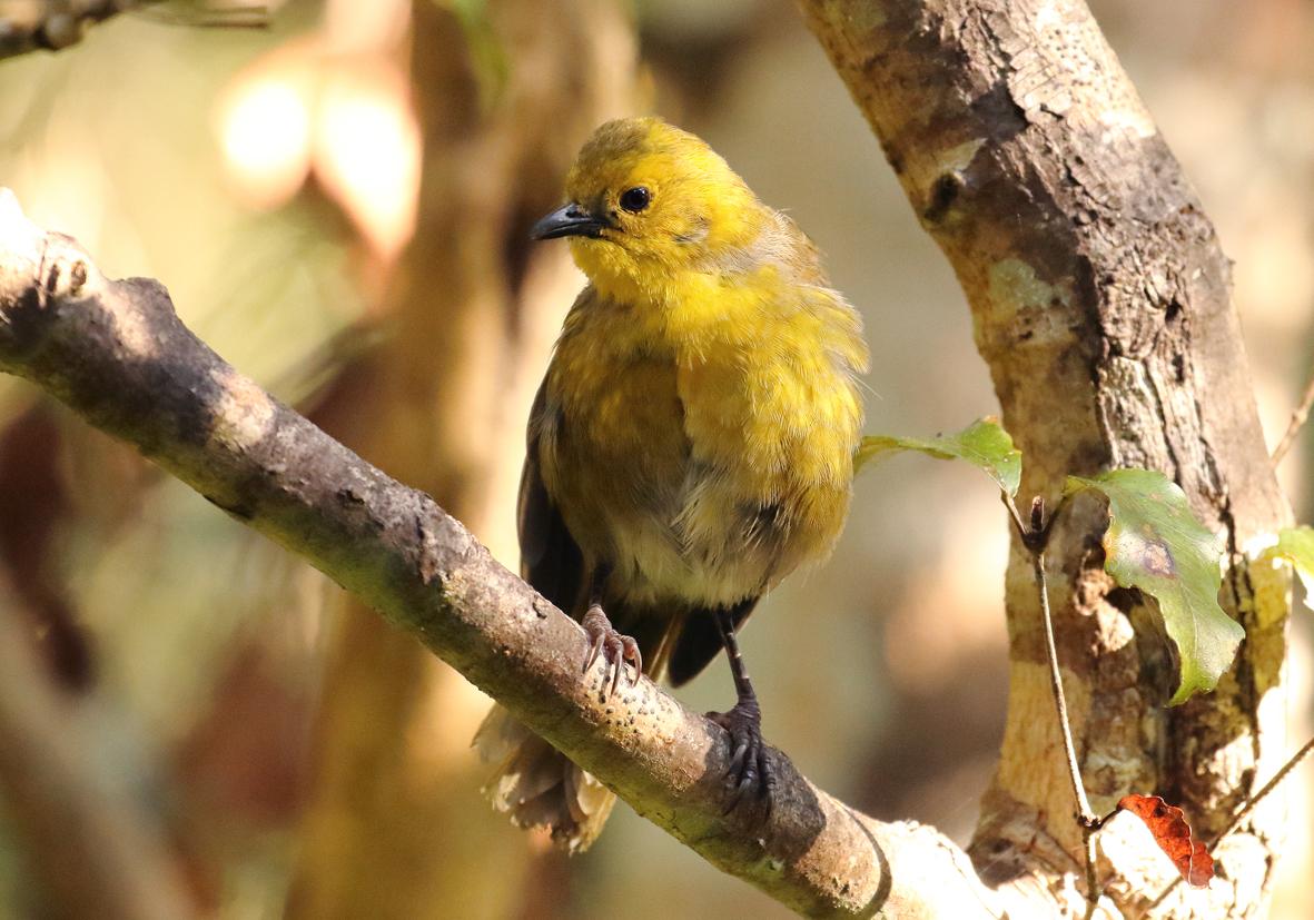 yellowhead on branch