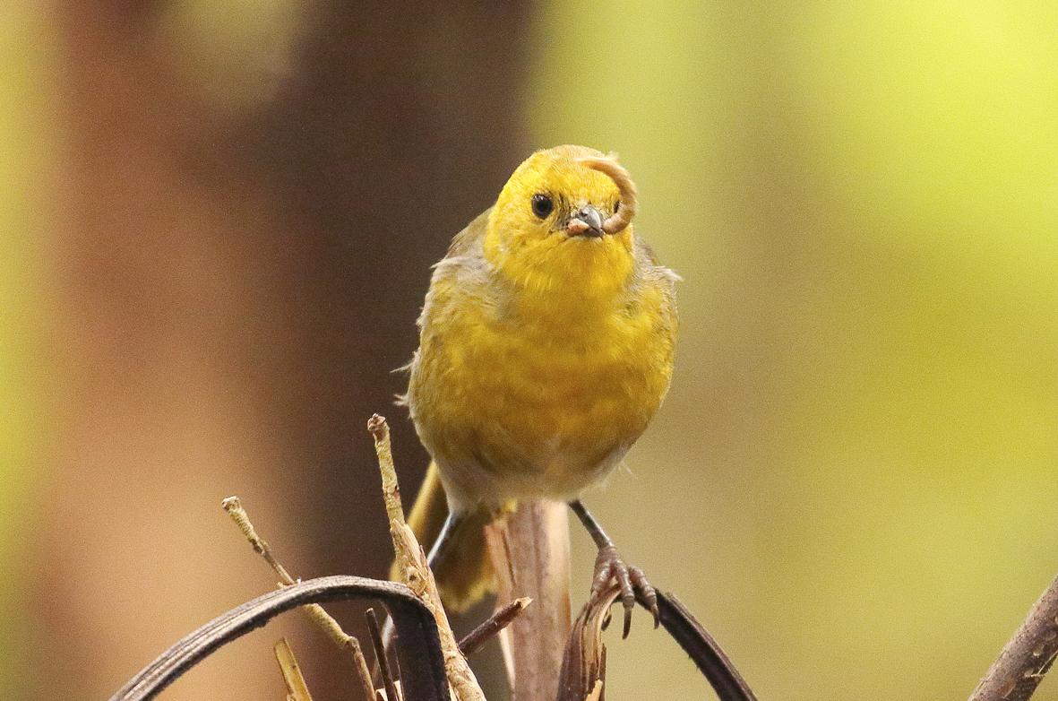 yellowhead eating worm