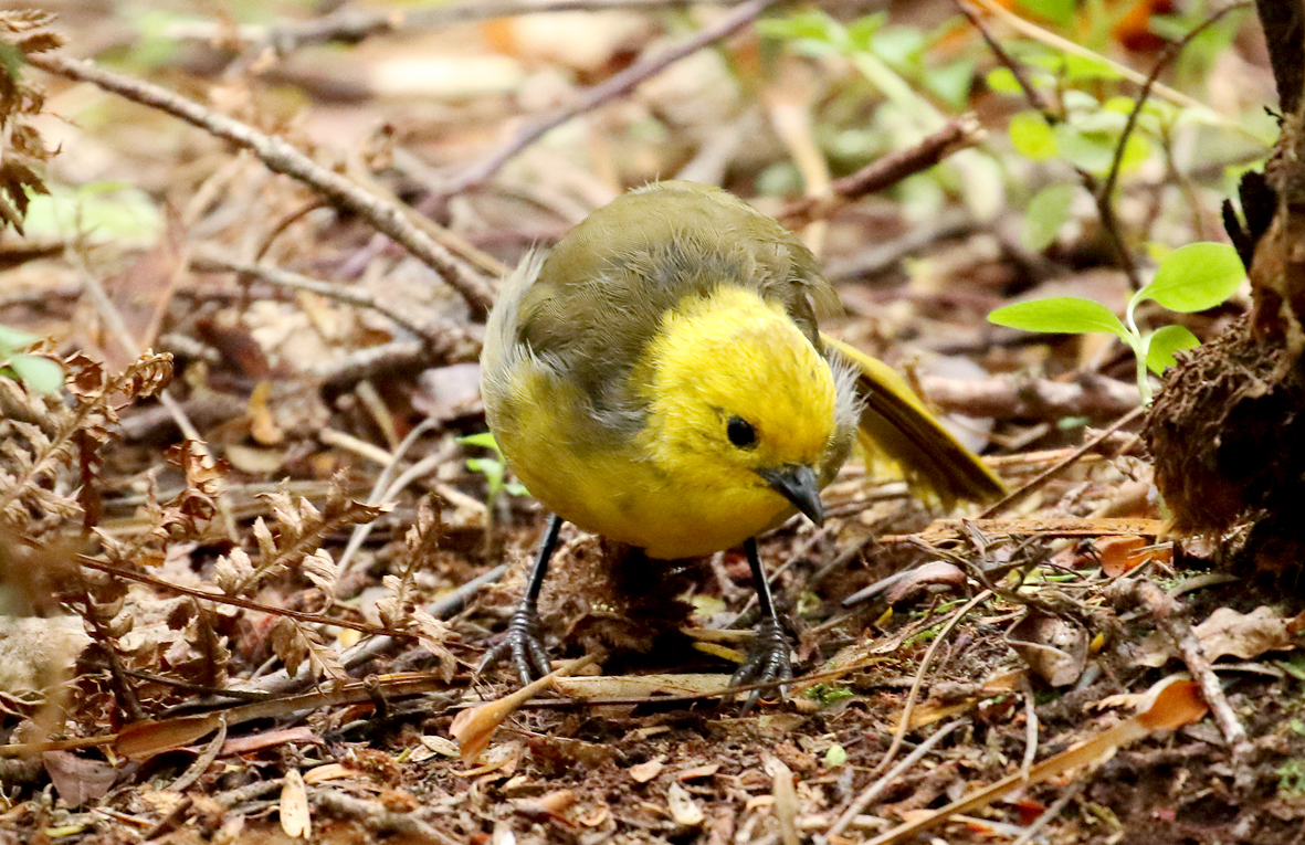 yellowhead on ground