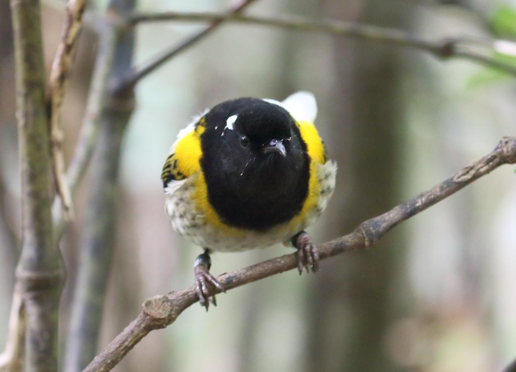 10 stitchbird 1