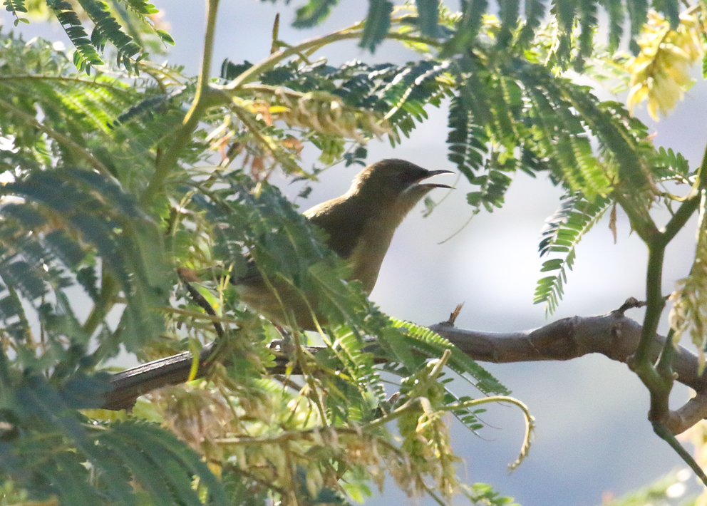 female-bellbird