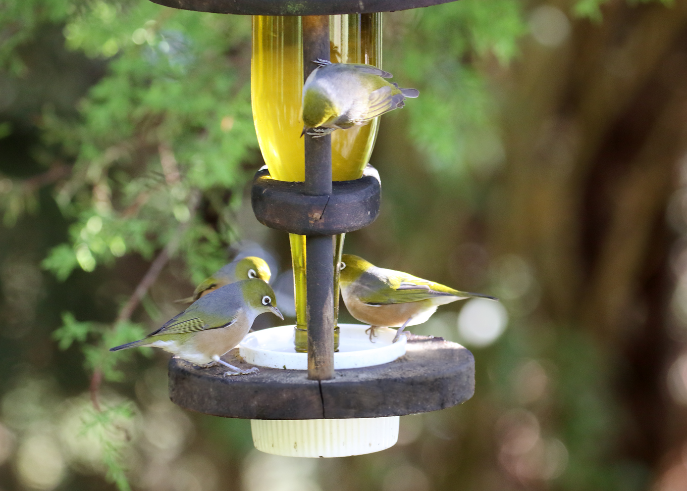 waxeyes on feeder 2
