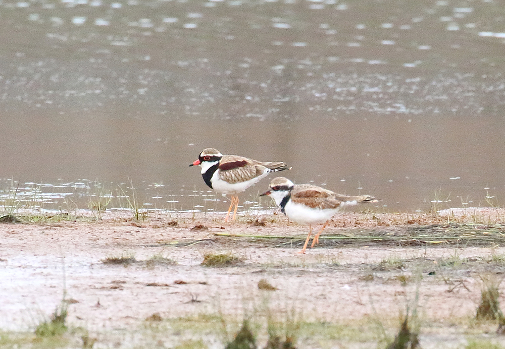 black fronted dotterel pair.JPG