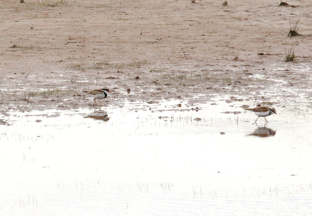 black fronted dotterel pair2.JPG