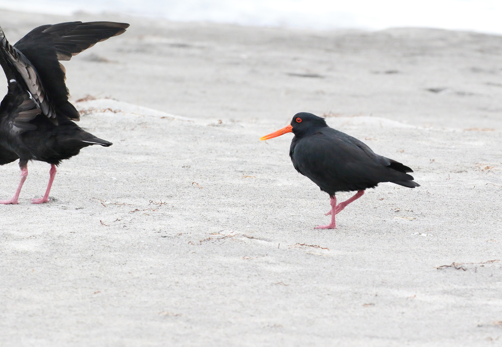 oystercatchers waihi beach.JPG