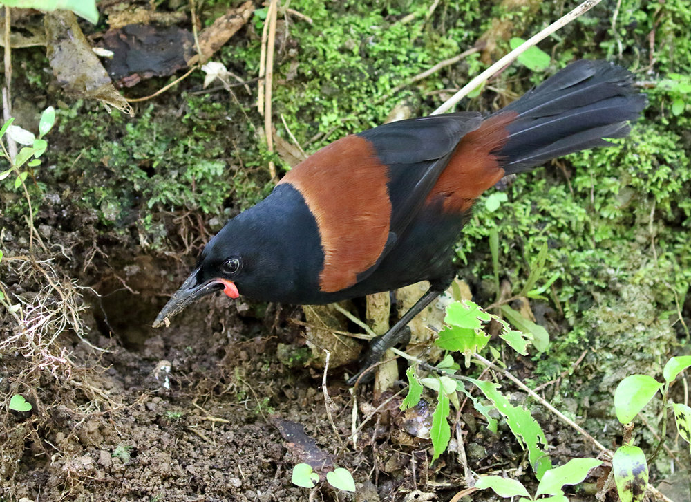 North Island Tieke/Saddleback.