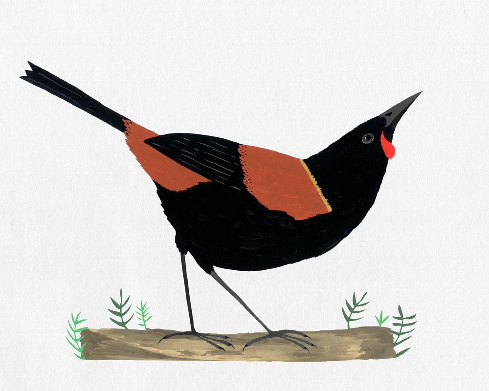 new zealand bird series - tieke - saddleback