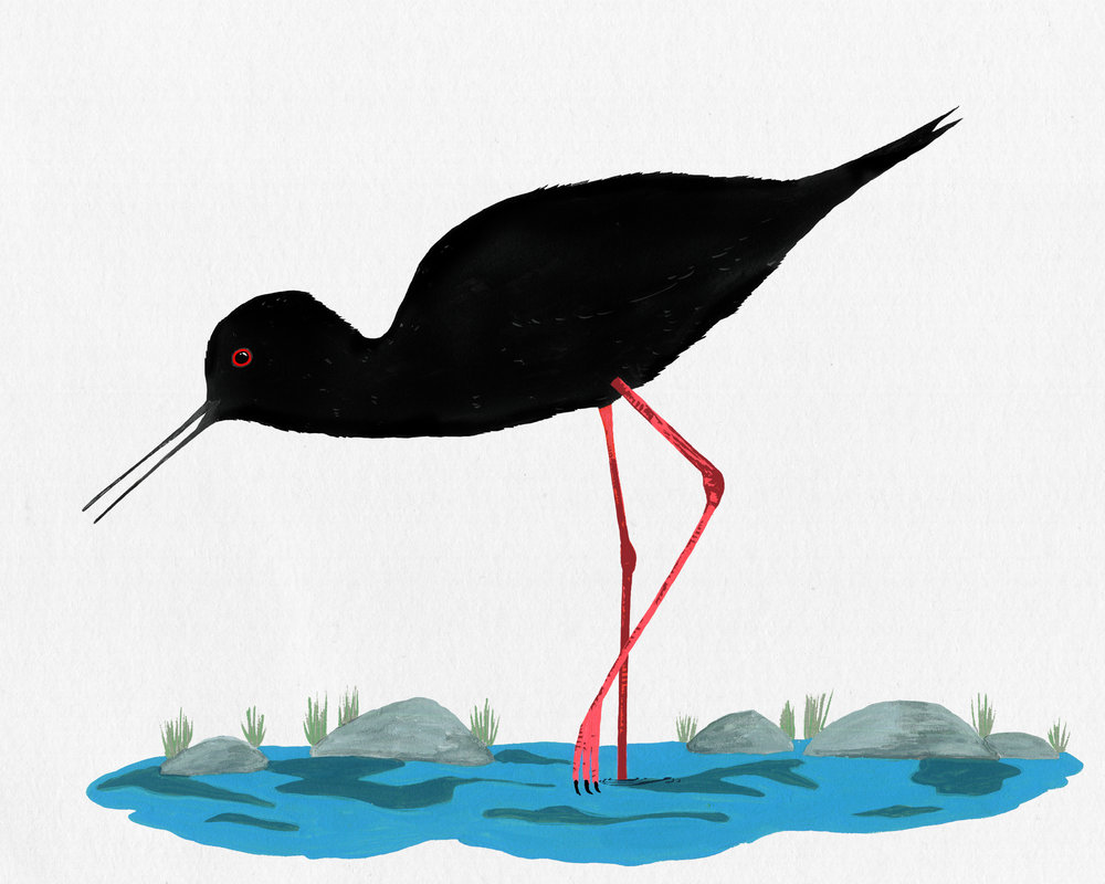 new zealand birds series - kaki - black stilt