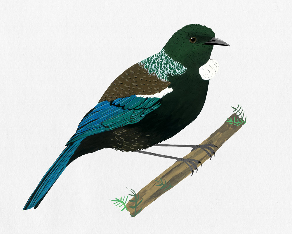 new zealand bird series - tui