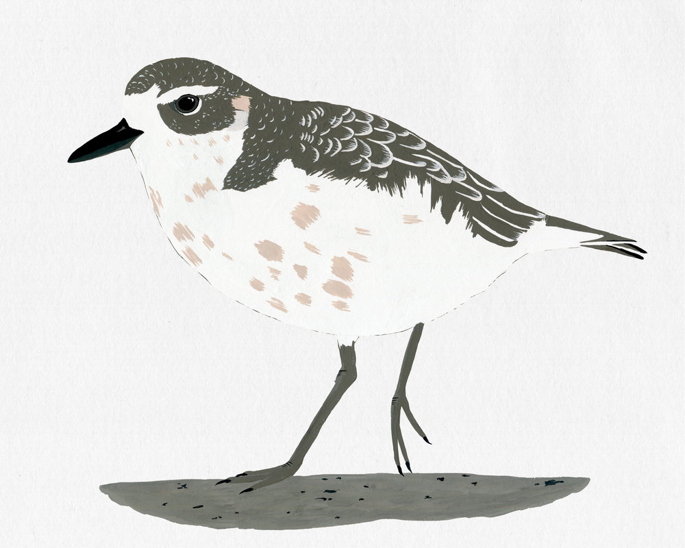 new zealand bird series - nz dotterel