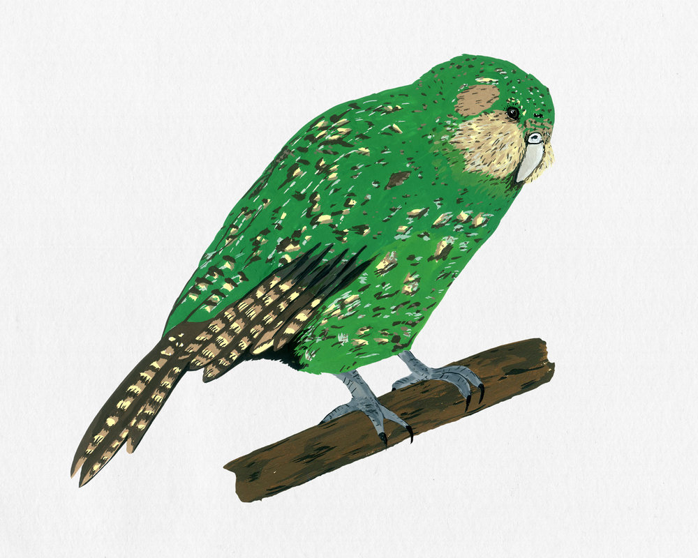 new zealand bird series - kakapo