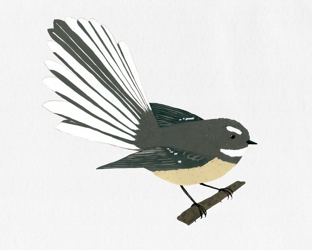 new zealand bird series - fantail - piwakawaka