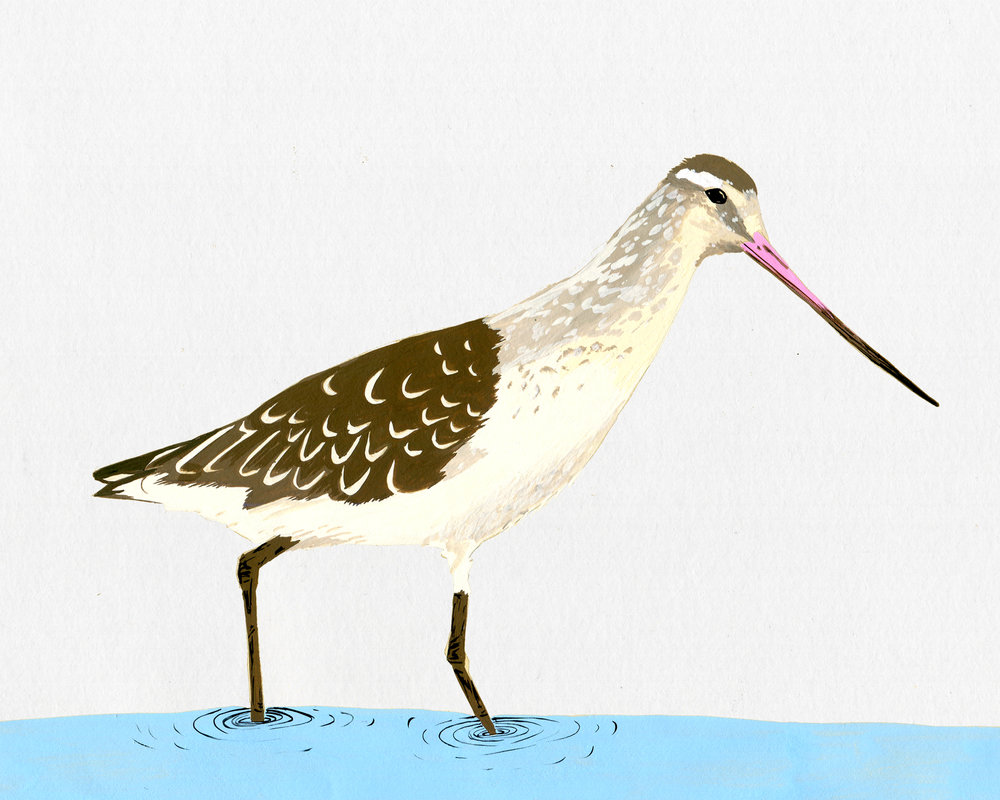 new zealand bird series - bar tailed godwit - kuaka