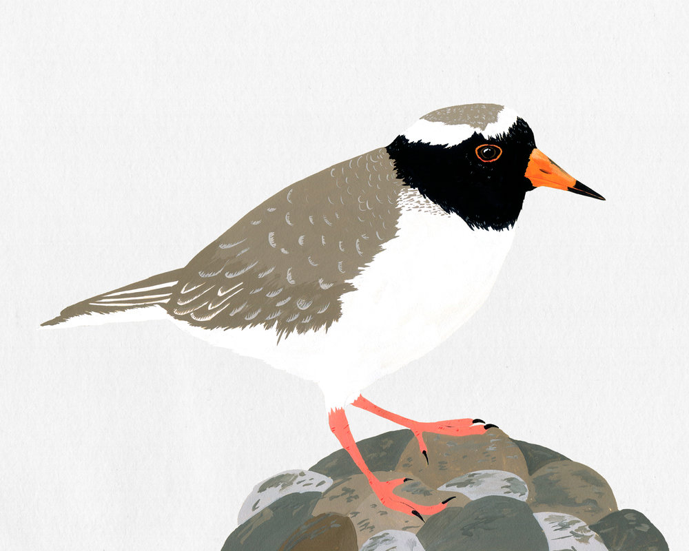 new zealand bird series - shore plover - tuturuatu