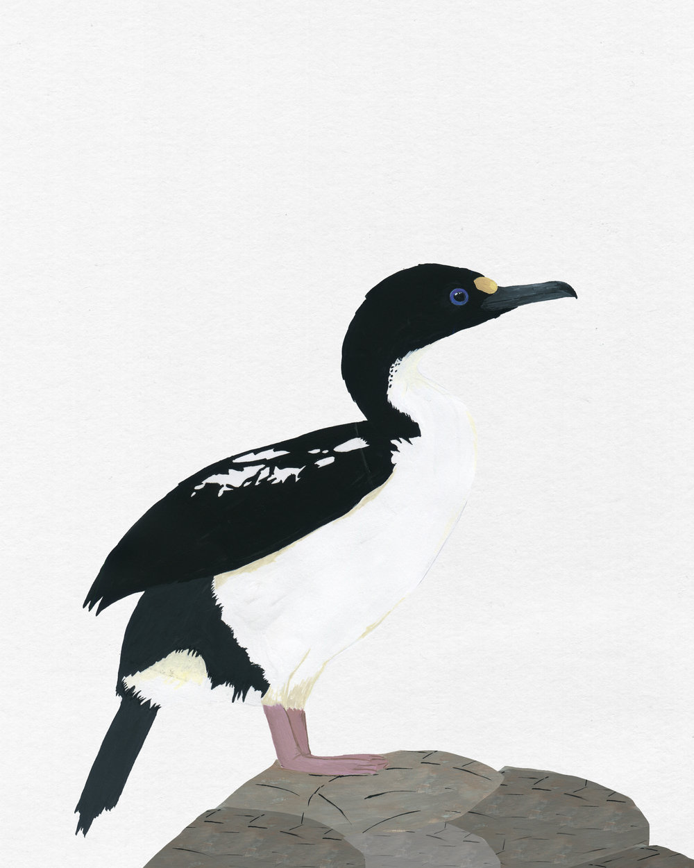 new zealand bird series - king shag