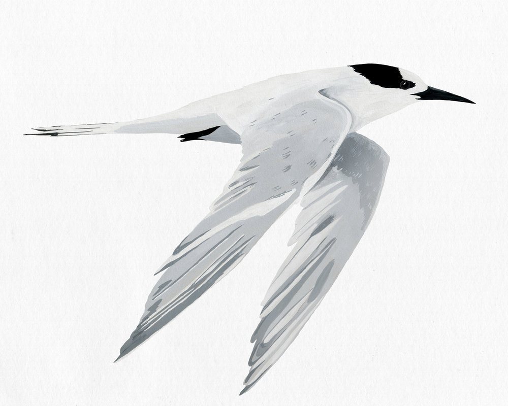new zealand bird series - white fronted tern