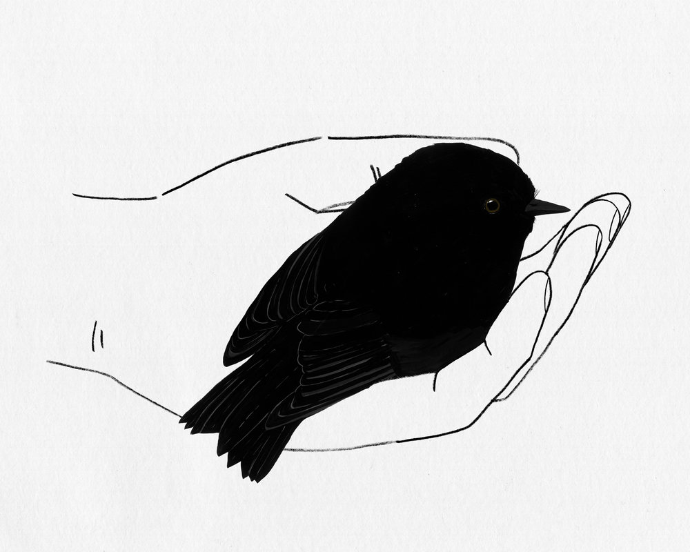 bird in hand series - black robin