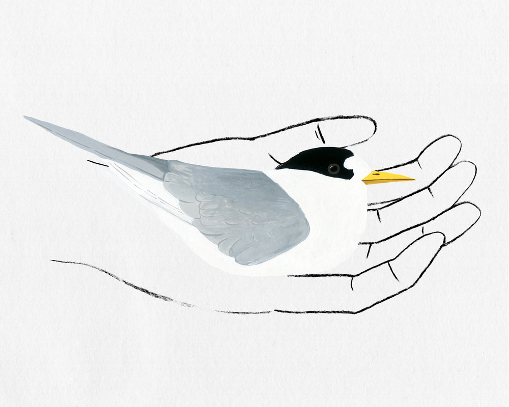 bird in hand series - fairy tern
