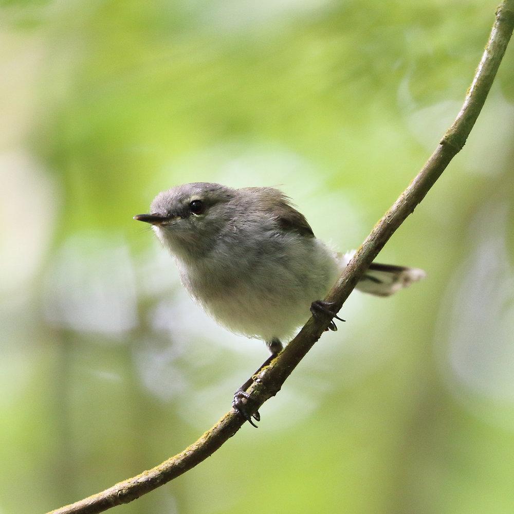 1V8A6699 baby warbler.JPG