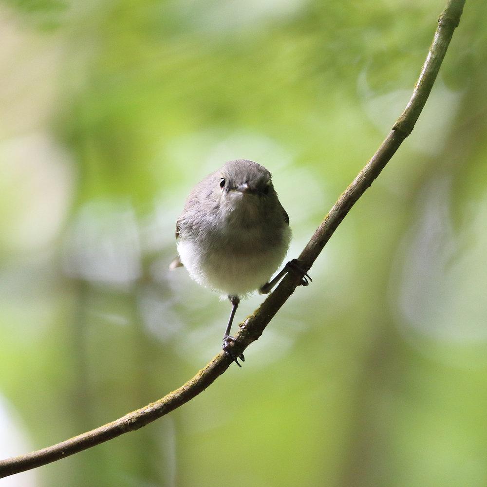 1V8A6701 baby warbler.JPG