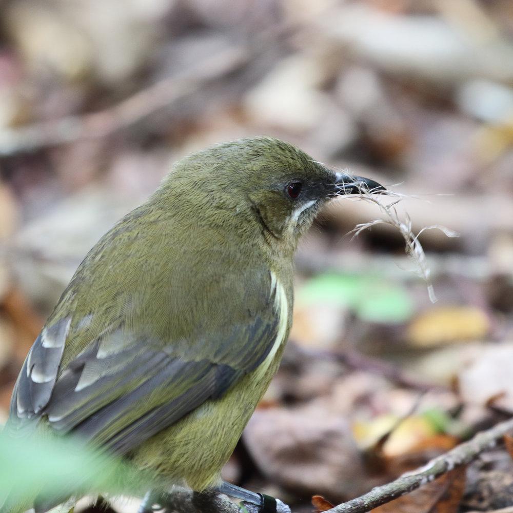 1V8A6909 bellbird.JPG