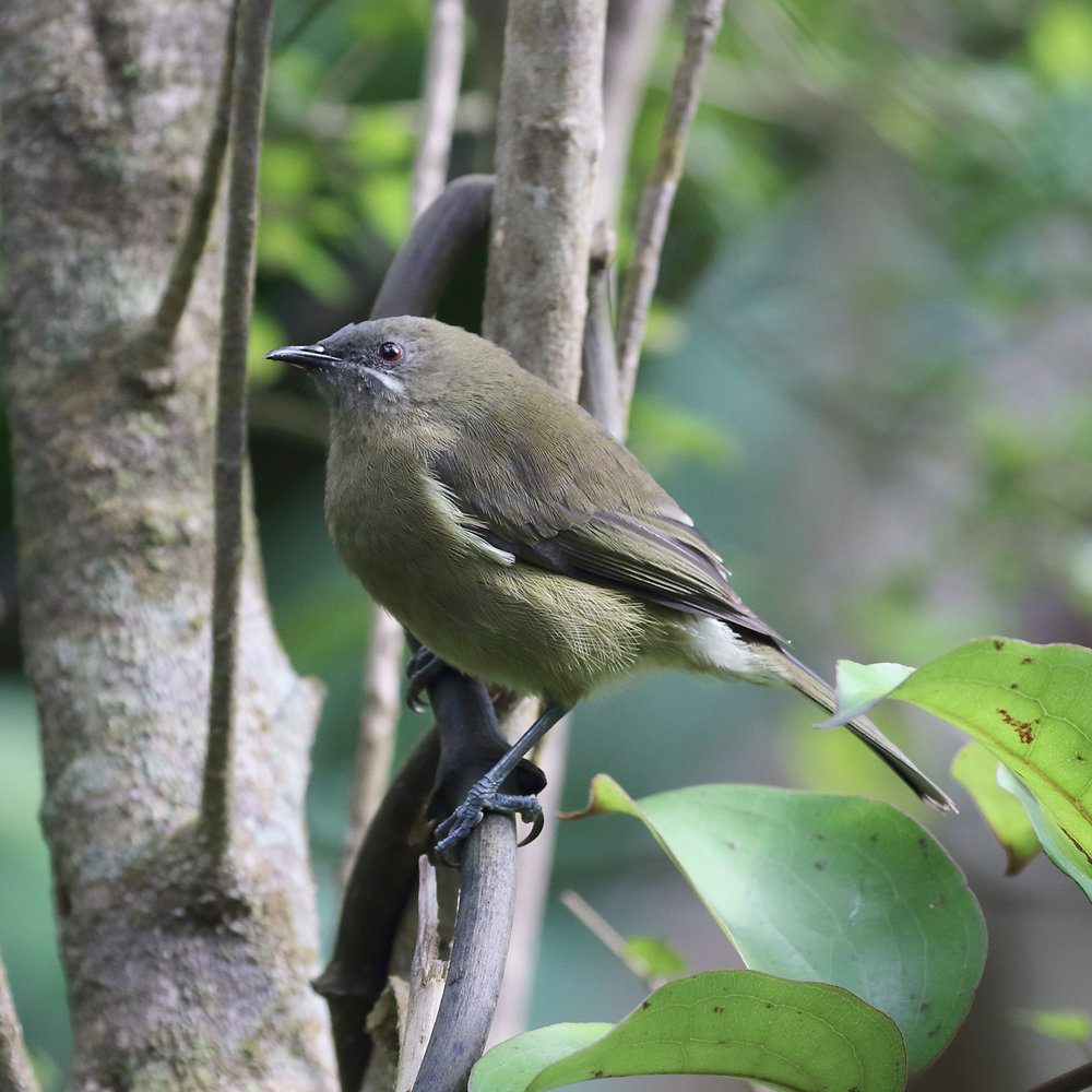 1V8A0160 kapiti female bellbird.jpg