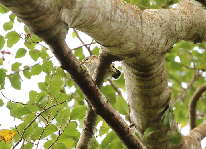 low res 1V8A1073 rifleman in tree zealandia cropped.jpg