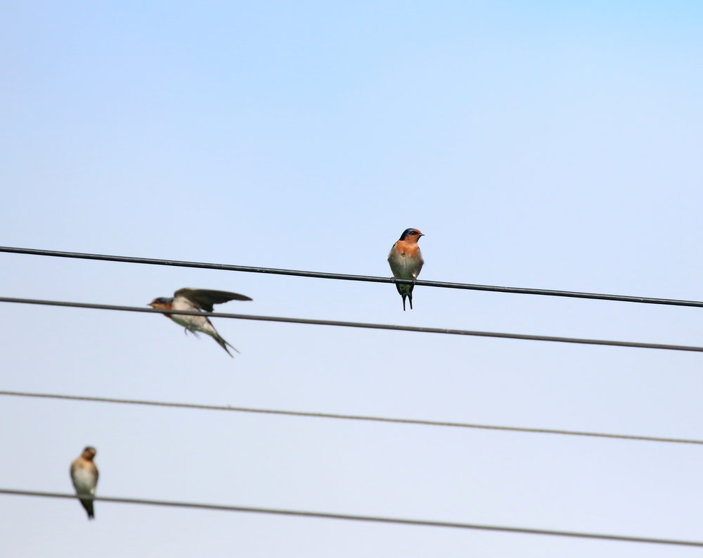 1V8A5744 swallows on wire.JPG