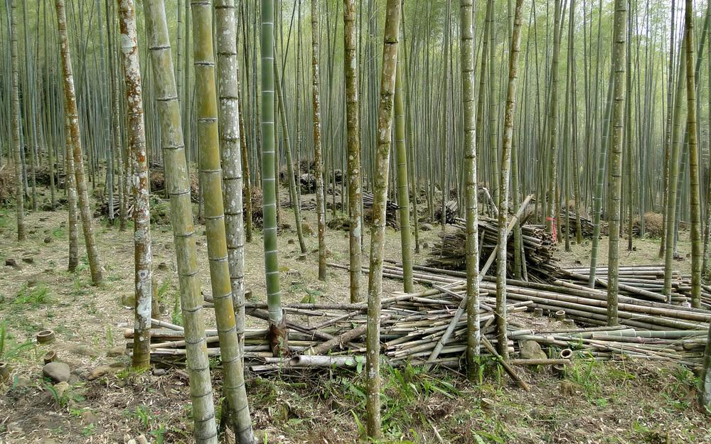 Bamboo_forest,_Taiwan.jpg