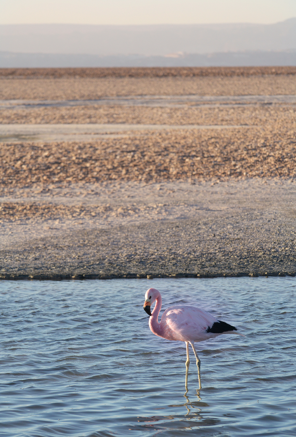Flamingo, San Pedro de Atacama, Chile