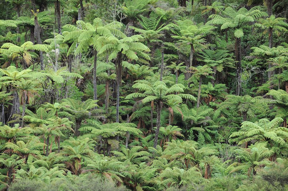 Metsä, saniainen, viidakko, uusi-seelanti, matkustaa, matka, matkablogi