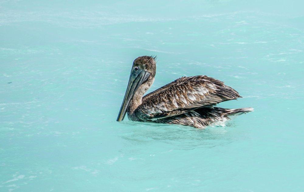 Meksiko, Tulum, meri, lintu, matkablogi, matka, sininen, paratiisi, pelikaani