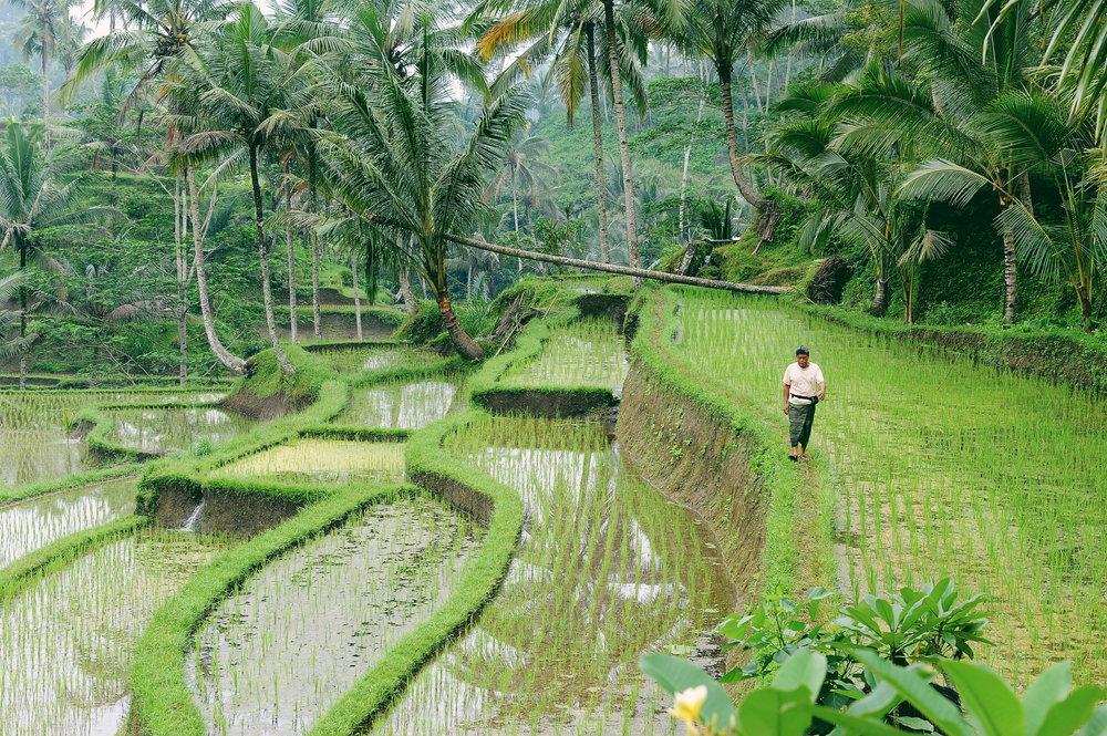 Bali, riisipelto, maisema
