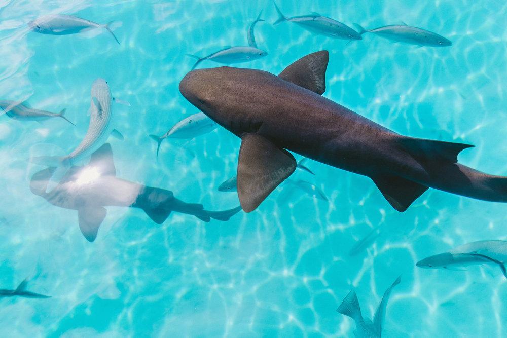 hai, nurse shark