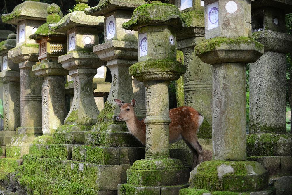 Japani, Nara, Kansai, temppeli, peura