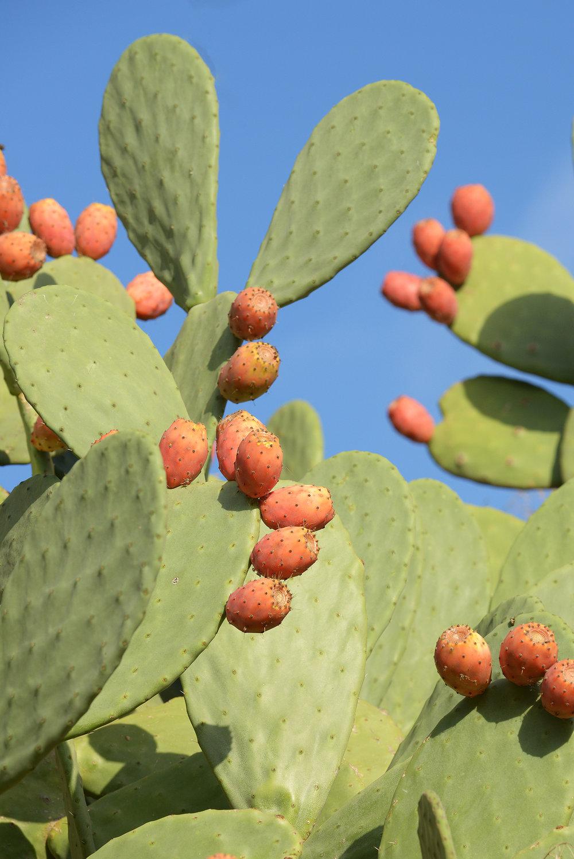 Italia, Sisilia, kaktus